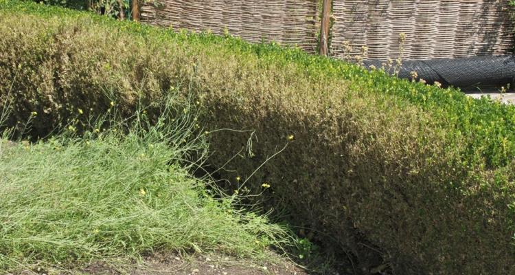 Befallenes Pflanzenmaterial muss meist großzügig ausgeschnitten und dann ordnungsgemäß entsorgt werden.